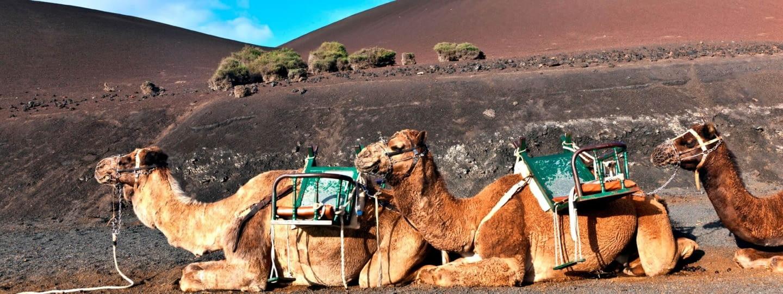 lanzarote kamelreiten