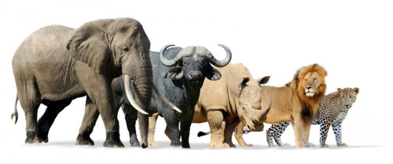 südafrika big five fotolia 111442607